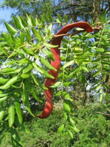 Glediczja trójcierniowa, jedno z cenniejszych drzew w permakulturze, trafiła do Polski z Ameryki Północnej.